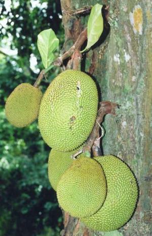 Artocarpus_heterophyllus_fruits_at_